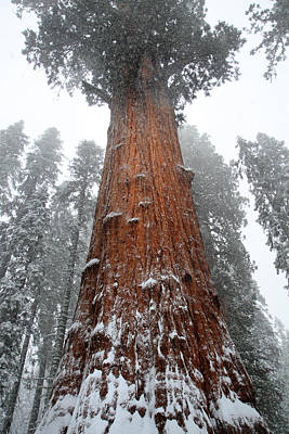 Photograph - General Sherman Is The Biggest Tree In The World by Pierre Leclerc Photography