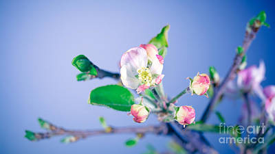 Photograph - Gentle Apple Tree Flowers by Anna Om