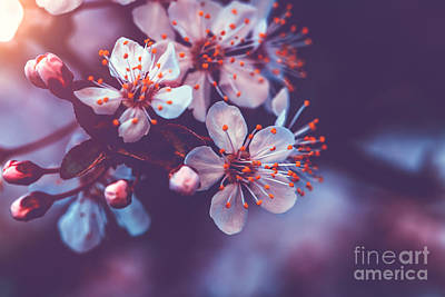 Photograph - Gentle Cherry Blossom by Anna Om