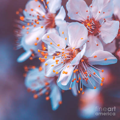 Photograph - Gentle Cherry Tree Blossoming by Anna Om