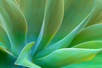 Photograph - Gentle Curves Of Agave Attenuate by Ram Vasudev