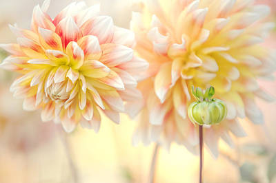 Photograph - Gentle Dahlias  by Jenny Rainbow