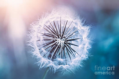 Photograph - Gentle Dandelion Flower by Anna Om
