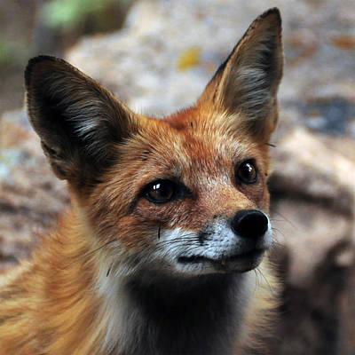 Gentle Fox Art Print