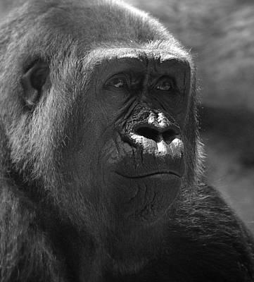 Contemplative Photograph - Gentle Gorilla by Lori Seaman