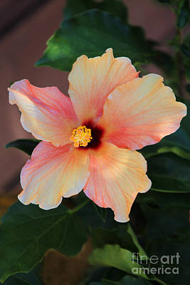Photograph - Gentle Hibiscus by Wernher Krutein