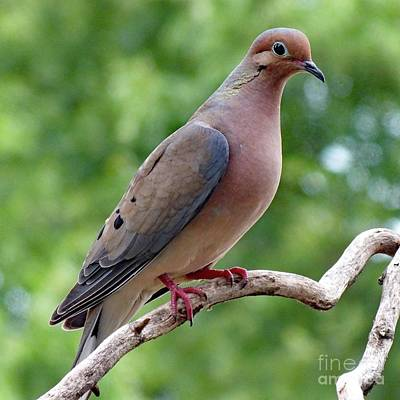 Animals Royalty-Free and Rights-Managed Images - Gentle - Mourning Dove by Cindy Treger