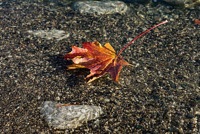 Photograph - Gently Floating Autumn - Colorful Maple Leaf In The Lake by Georgia Mizuleva
