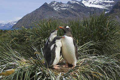 Three Chicks Photograph - Gentoo Penguin And Young Chicks by Suzi Eszterhas