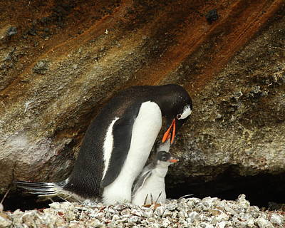 Photograph - Gentoo Penguin Feeding Chicks by Bruce J Robinson