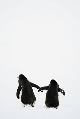 Two Photograph - Gentoo Penguin (pygoscelis Papua) by Elliott Neep