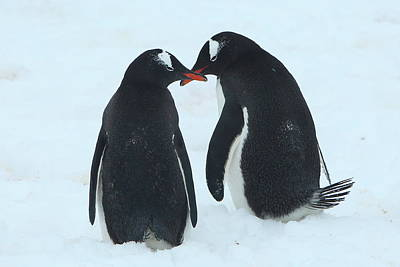 Photograph - Gentoo Penguin Romance by Bruce J Robinson