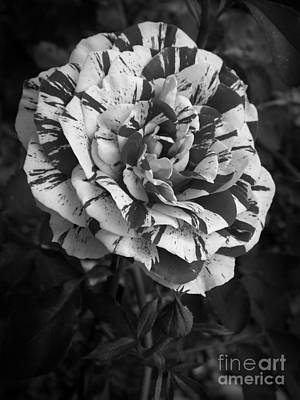Photograph - George Burns Rose 2 by Sara Raber
