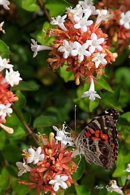 Photograph - Georgia Painted Lady by Reid Callaway