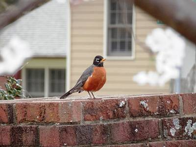 Photograph - Georgia Red Breasted Robin by Belinda Lee