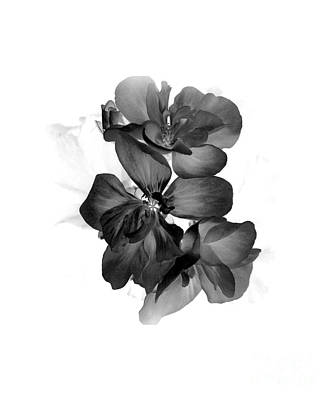 Photograph - Geranium Black by Ioanna Papanikolaou
