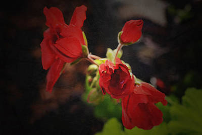 Photograph - Geranium Cluster by Richard Andrews