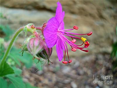 Photograph - Geranium Flower Profile 2016 by Padre Art