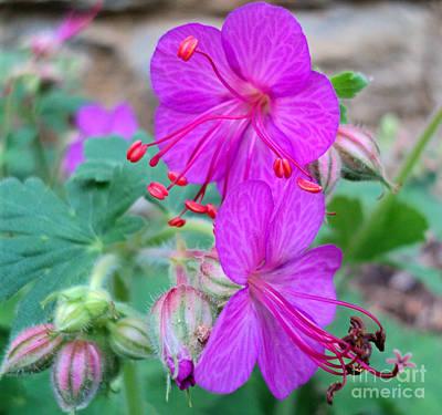 Photograph - Geranium Flowers 2016 by Padre Art