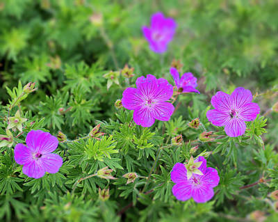 Photograph - Geranium by John Brink