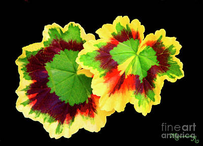 Photograph - Geranium Leaves by Mariarosa Rockefeller