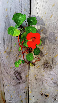 Photograph - Nasturtium On The Wall by Nareeta Martin