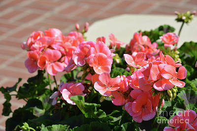 Photograph - Geraniums 2 by Ruth Housley