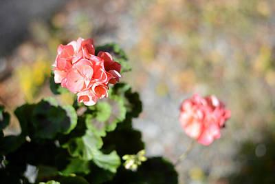 Photograph - Geraniums In Denali by Connie Fox