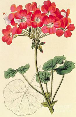 Geraniums Art Print by Leopold Trattinick