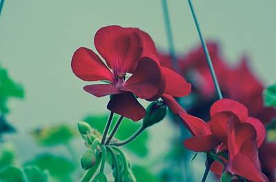 Photograph - Geraniums by Penni D'Aulerio