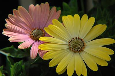 Gerber Daisy Photograph - Gerber Daisies by Jerry McElroy