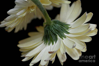 Catch Of The Day - Gerber Daisy - Macro Study 2 by Jill Smith