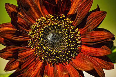Photograph - Gerber Daisy Full On by Roger Passman