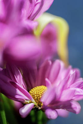 Photograph - Gerber Daisy In Purple by Al Hurley