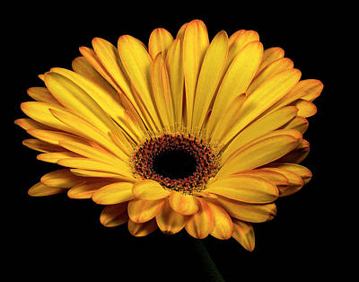 Photograph - Gerber Daisy by James Sage