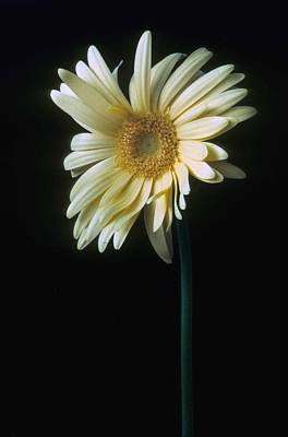 Flower Photograph - Gerber Daisy by Laurie Paci