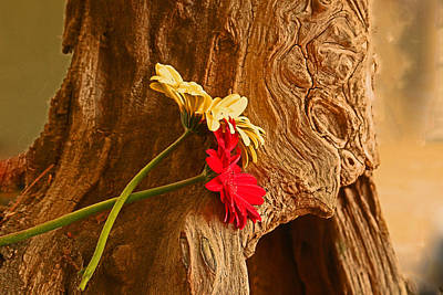 Photograph - Gerber Daisy On Driftwod by Ronald Olivier