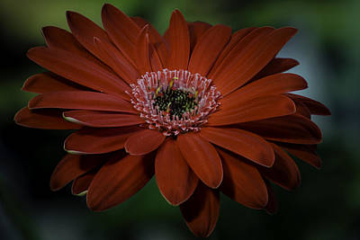 Photograph - Gerber Daisy by Rod Sterling