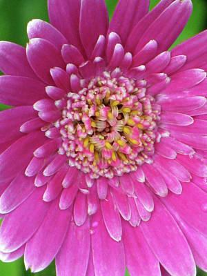 Photograph - Gerber Daisy - Sweet Memories 01 by Pamela Critchlow