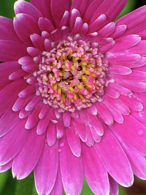 Photograph - Gerber Daisy - Sweet Memories 02 by Pamela Critchlow