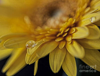 Photograph - Gerber Macro by Shirley Mangini