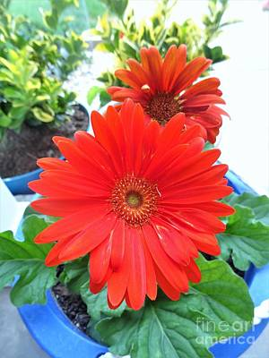 Kitchen Collection - Gerbera Daisies 2 by By Tara