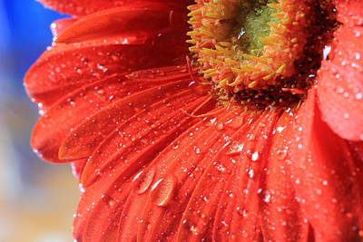 Gerbera Daisy After The Rain Art Print