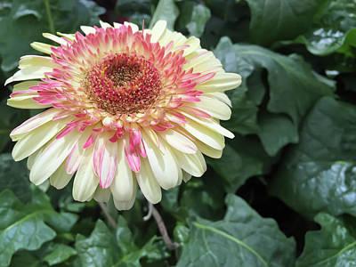Botany Photograph - Gerbera Daisy by Aimee L Maher Photography and Art Visit ALMGallerydotcom
