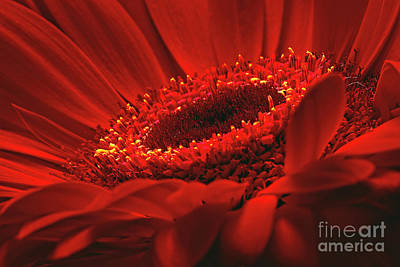 Art Print featuring the photograph Gerbera Daisy In Red by Sharon Talson