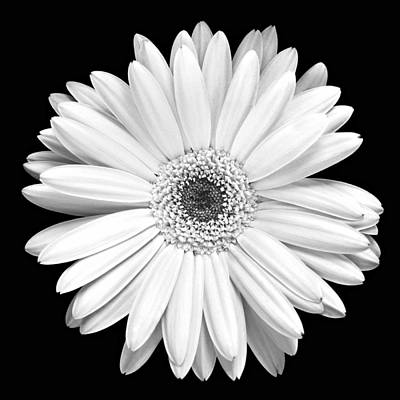 Florals Photos - Single Gerbera Daisy by Marilyn Hunt