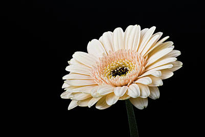 Photograph - Gerbera Daisy On Black II by Clare Bambers