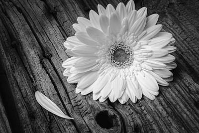 Knothole Photograph - Gerbera Daisy On Old Wood by Garry Gay