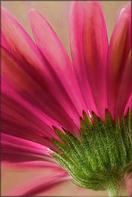 Photograph - Gerbera by Erika Fawcett