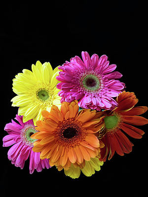 Photograph - Gerbera Galore by Robin Zygelman